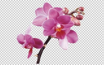 Клипарт веточка орхидеи, для Фотошоп в PSD и PNG, без фона