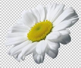 Клипарт ромашка, для Фотошоп в PSD и PNG, без фона
