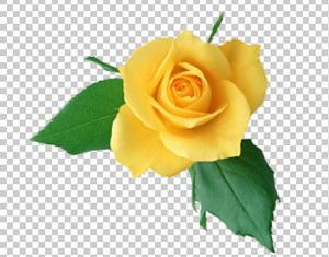 Клипарт цветок — желтая роза, для Фотошоп в PSD и PNG, без фона