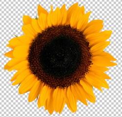 Клипарт подсолнух, для Фотошоп в PSD и PNG, без фона