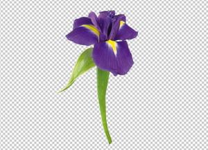 Клипарт ирис, для Фотошоп в PSD и PNG, без фона