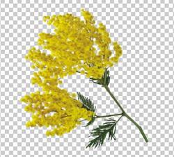 Клипарт мимоза, для Фотошоп в PSD и PNG, без фона
