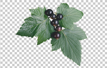 Клипарт листья смородины, для Фотошоп в PSD и PNG, без фона