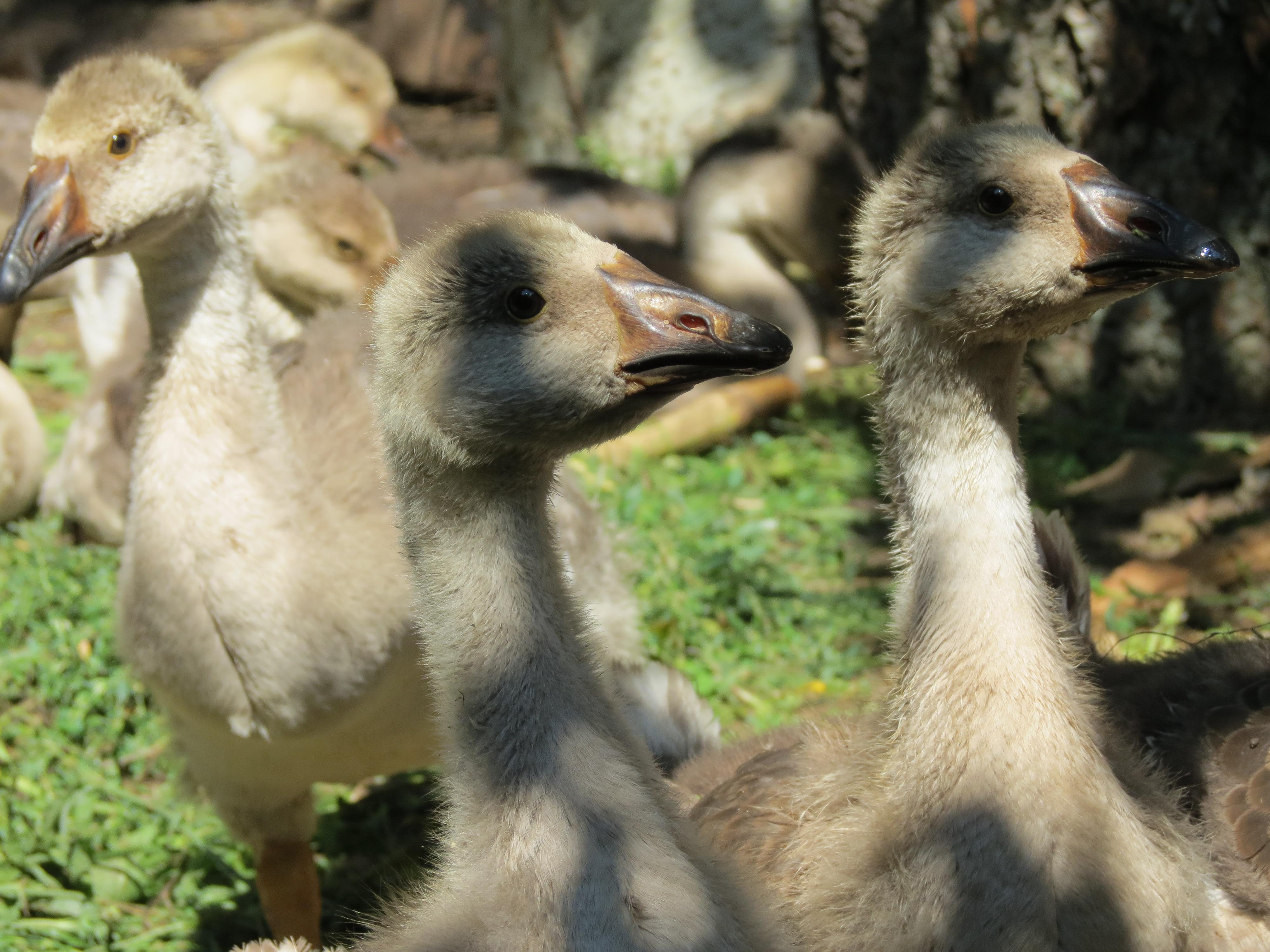 Молодые гуси ждут вождя, обои для рабочего стола, фотография высокого разрешения и качества