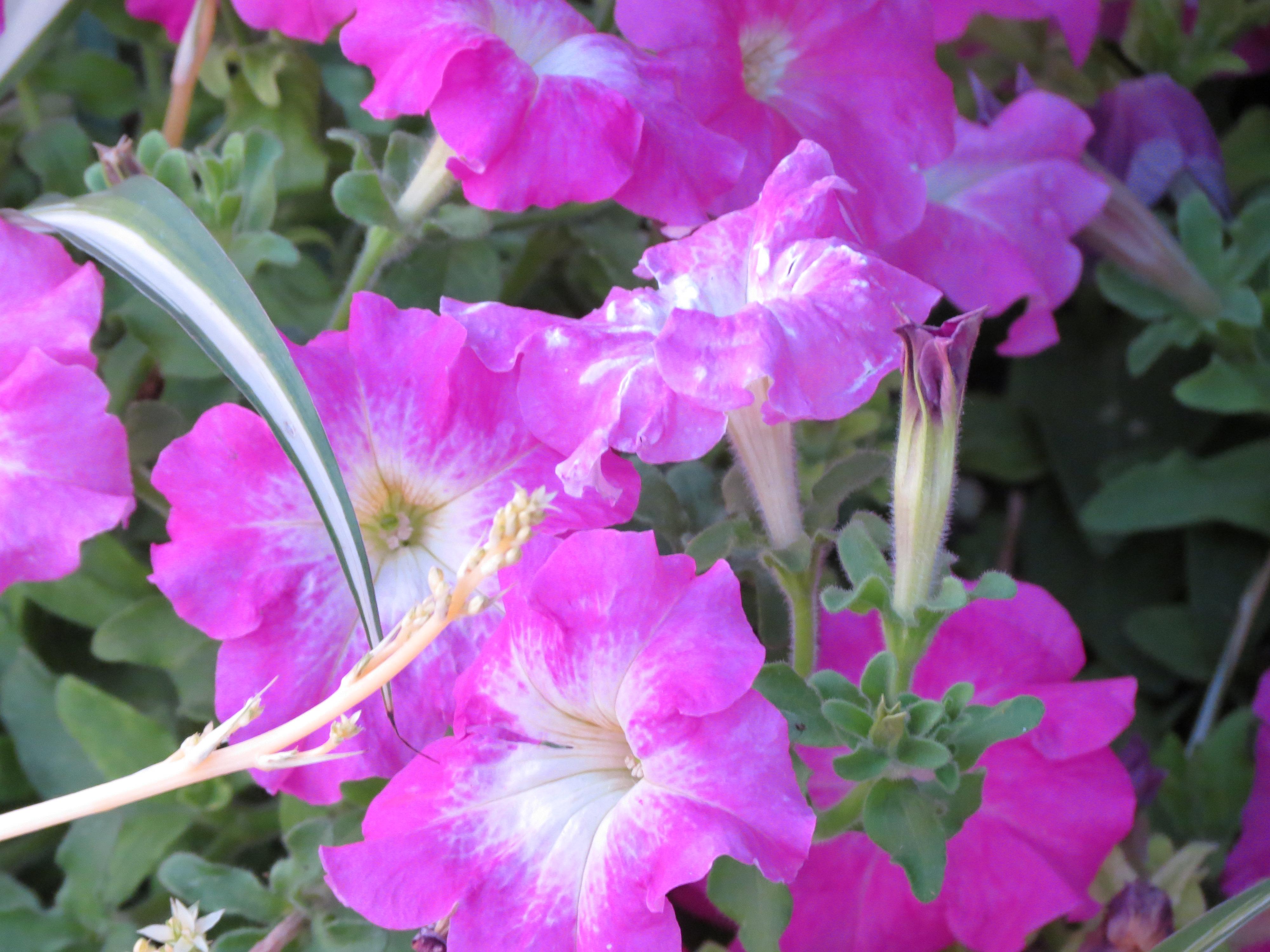 Ярко-розовые цветы, обои для рабочего стола, фотография высокого разрешения